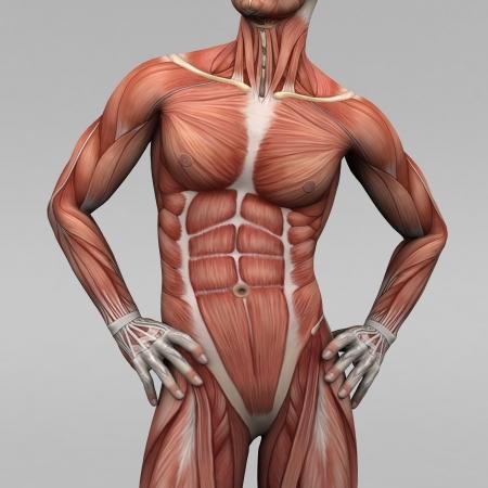 Muskelentzündung – Leukozyten Einfluß