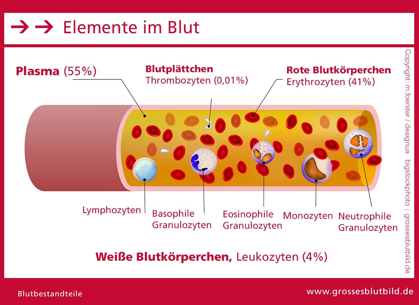 Blutzellen in der Übersicht