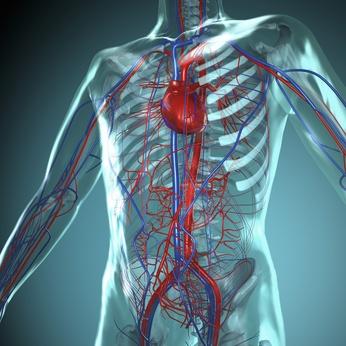 Blutbahn System des Menschen