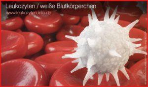 Leukozyten Darstellung der weißen Blutkörperchen