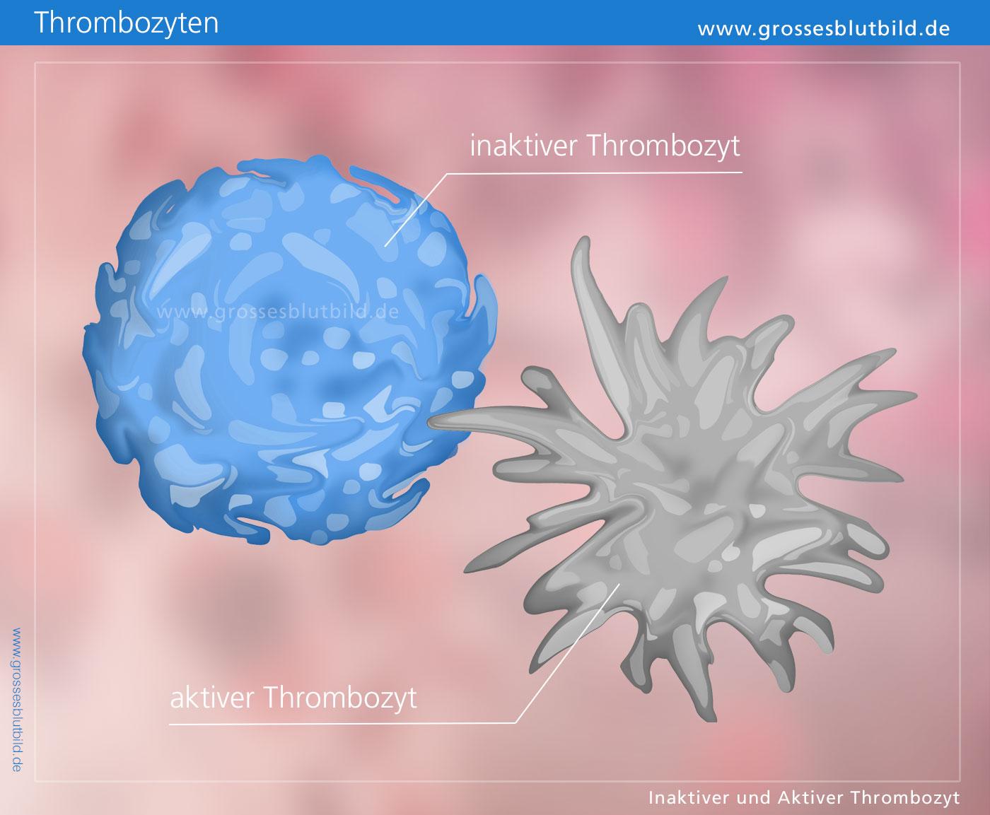 Blutkörperchen (Blutzellen) » Leukozyten-Info.de