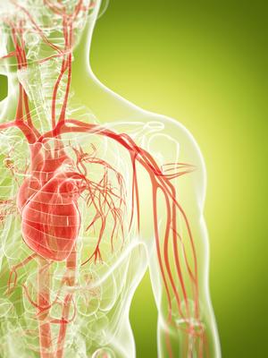 Blutsystem im menschlichen Körper